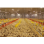 Informatsioon ja soovitused kanafarmi